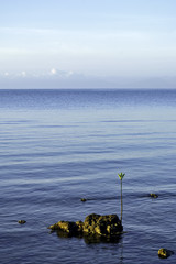 Sea Mangrove Seedling