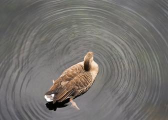 Ente paddelt im Wasser