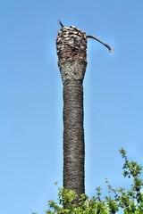 Danno da punteruolo rosso della palma