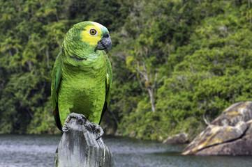 Green Parrot in Amazon, Brazil