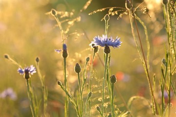 Cornflower in the field at dusk