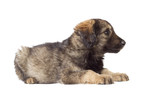 Cute shaggy mutt on a white background poster