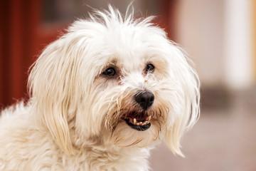 Portrait of cute maltese dog