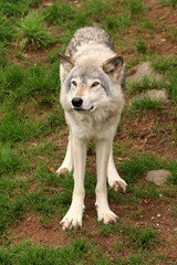 Grey wolf standing in the grass