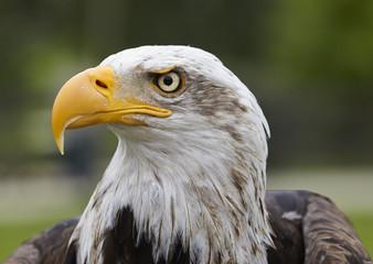 Haliaeetus leucocephalus.American eagle.