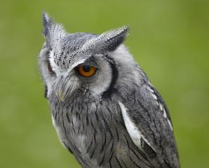 Ptilopsis leucotis.White faced owl.
