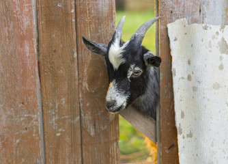 Cute goat is wondering - what are you doing here