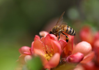 A bee sitting on quince blossom macro shot
