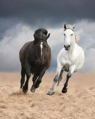 Black and white horses running wild