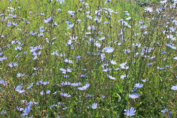 blue flower of Cichorium