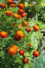 Marigold flowers growing in a garden