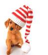 Golden Irish Christmas puppy