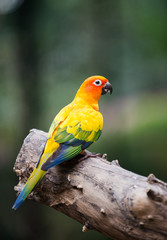 portrait of yellow lovebird