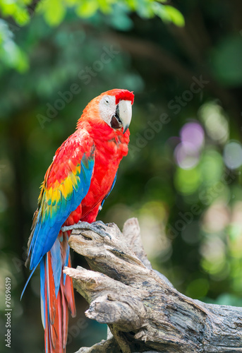 Spoed canvasdoek 2cm dik Papegaai red macaw parrot stand on branch