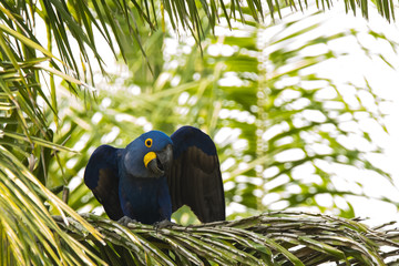Wild Hyacinth Macaw on Palm Tree with Wings Open