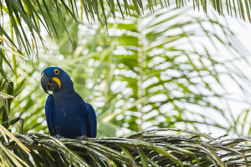 Smiling Hyacinth Macaw on Palms