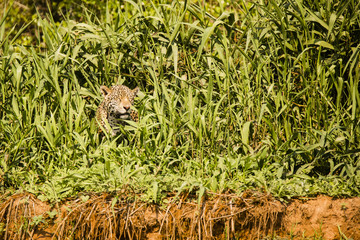 Wild Jaguar Squinting in Sun on Grassy Riverbank