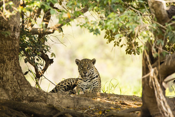 Female Jaguar Sitting in Shade