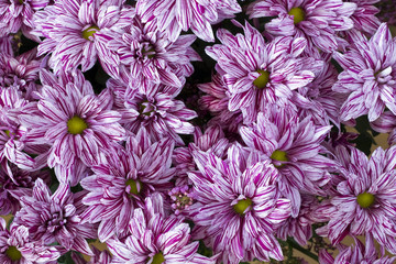 Pink chrysanthemums background