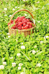 Basket full of raspberry on green grass