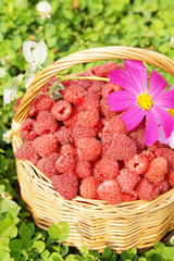 Basket full of ripe raspberry and flowers
