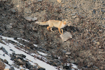 Red Fox in the mountains, Fox on the rocky slope,