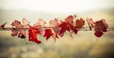Fototapety Foglie di vite in autunno
