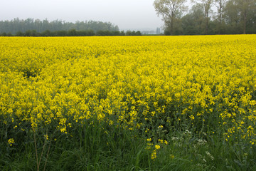 View of a beautiful field of bright yellow canola or rapeseed