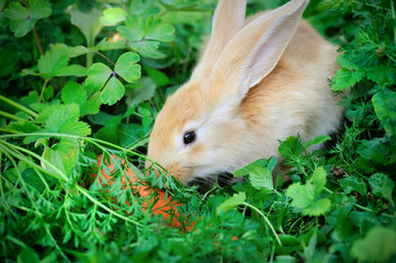 Funny baby rabbit with a carrot in grass