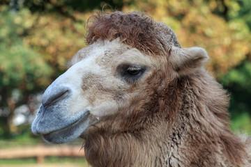 Kamel im Portrait