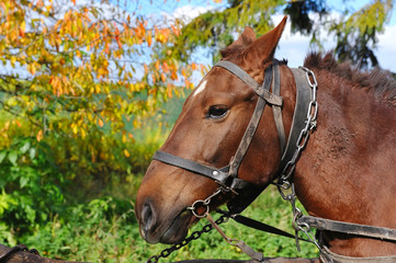 Horse is with the old trappings of autumn sunny day