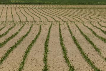 Pattern of fresh corn plants on acre