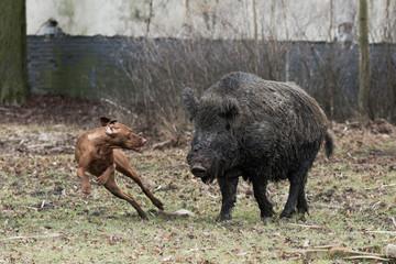 Hunting dog catching wild boar