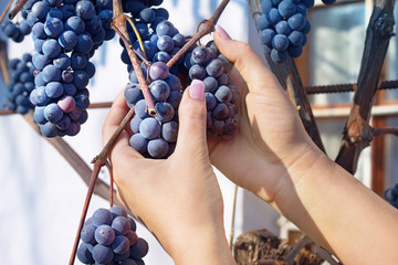 Woman's hands are taking down bunch of grapes