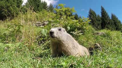 Marmotta delle Alpi
