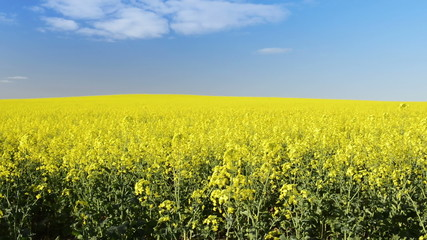 Footage of canola field or rapeseed field under blue sky