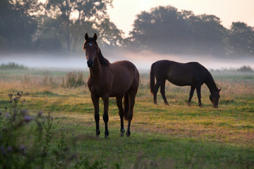 horses grazing on pasture at sunrise