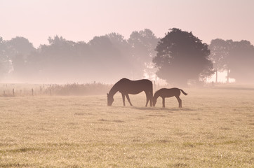two horses grazing in fog