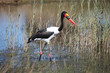 Setloglevel stork Jabiru hunting, saddle billed stork,