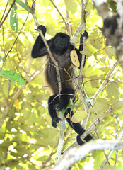 female howler monkey in tree, corcovado , costa rica