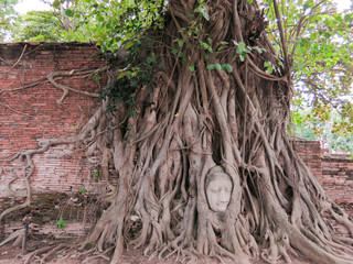 Head of the sandstone buddha in tree roots