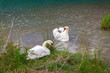 Couple of swans with baby birds on the lake
