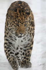 Amur leopard in the snow, Леопард амурский