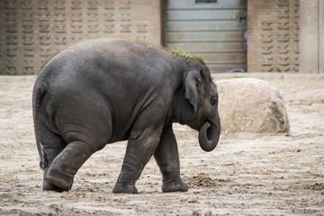 Cucciolo di elefante indiano