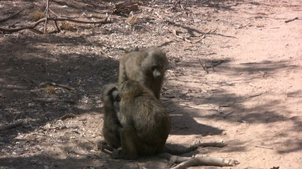Juvenile baboons playing on the side of the road