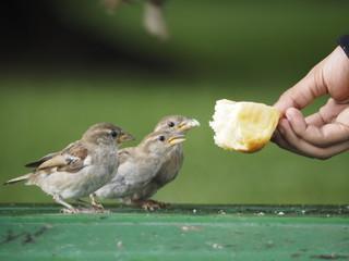 Pajaros comiendo pan de la mano de un niño
