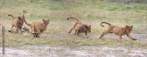 Foto op Canvas Leeuw Wild lion cubs playing