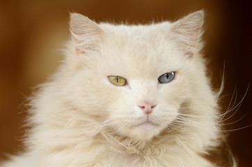 White cat with different coloured eyes