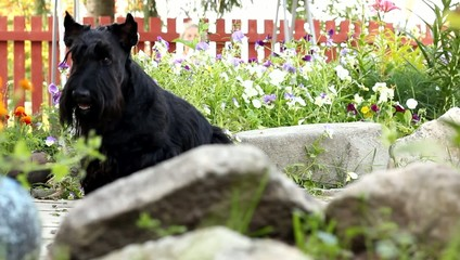 Scottish terrier dog sitting on a stone.