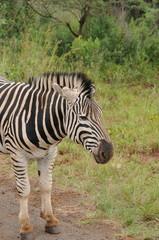 Zèbre africain